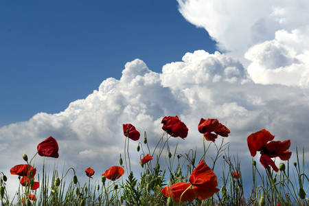 Amazing spring poppy field landscape against colorful sky and light clouds. Stock Photo