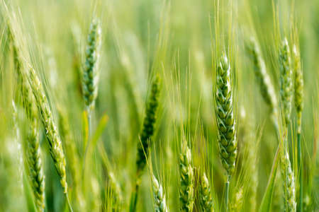 Blurred background of green wheat field
