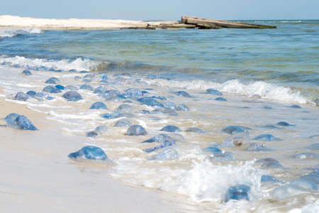 Ecological marine disaster and pollution of the world ocean. Millions dead jellyfish thrown to the seashore.