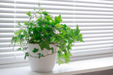 flower Hedera ivy in white a pot on the light windowsill. Blinds window
