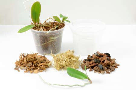 Cultivation of orchids at home. Plant transplanting and growing concept. Small young plants, orchid seedlings in pots