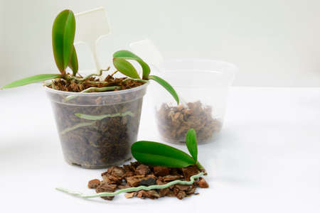 Cultivation of orchids at home. Soil and substrate for sall baby orchids, Small young plants, orchid seedlings in pots Stock Photo
