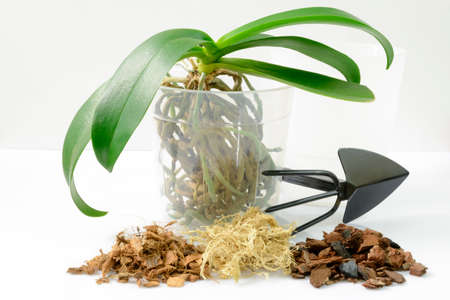 Transplant plants. Transplant orchids. Home gardening, breeding of orchids. Plant in the pot with soil on white background