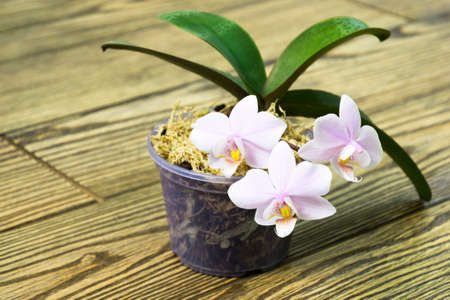 flower pot with a mini pink orchid with Polka dot pattern on the leaves