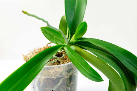 Cultivation of orchids at home. Small young plants with aerial root in active fase.
