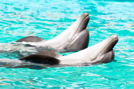 two lovers dolphin swimming in the pool Stock Photo - 122263349