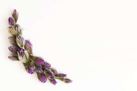 Flowers composition. Frame made of Anemone or Pulsatilla flowers on white background. Flat lay, top view, copy space