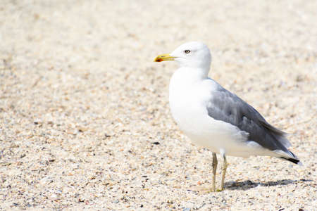 Seagull portrait against beach.Close up view of white bird seagull sitting by the beach.
