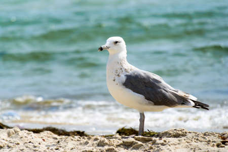 Seagull portrait against sea shore. Close up view of white bird seagull sitting by the beach. Stock Photo