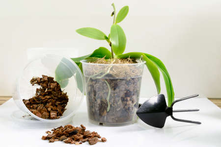 Cultivation of orchids at home. Small young plants and pot with soil for transplant on white Stock Photo - 122265320