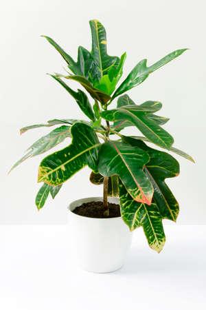Green plant Codiaeum in white ceramic pot on white background,
