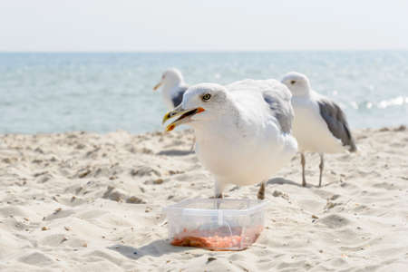 A seagull stealing food on the sea beach