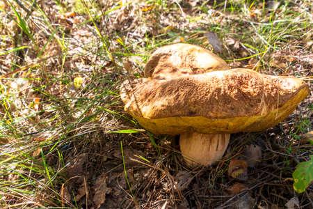 Huge old edible boletus mushroom pick in forest