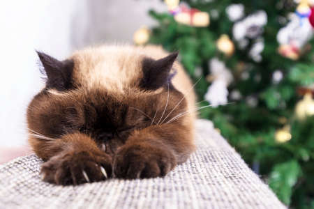 Sleeping cat against Christmas tree. Short hair Persian cat, pointcolor, selective focus