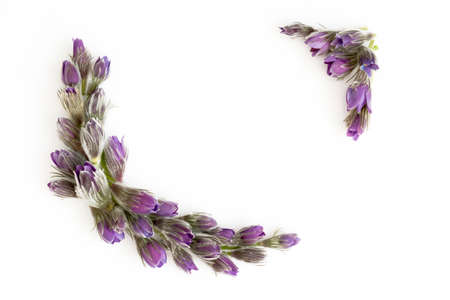 Beautiful floral border made of violet purple spring flower on the white background. Copy-space