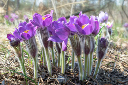 photo of first purple Anemons flowers in spring