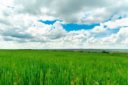 Field of green grass and perfect blue sky with clouds Standard-Bild