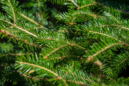 Background of Christmas tree branches, pine tree, branches of spruce Standard-Bild