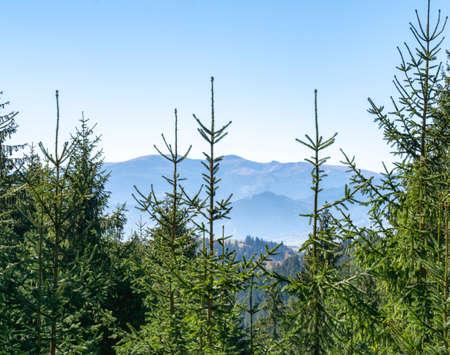 Beautiful pine trees on background high mountains. Carpathians Standard-Bild