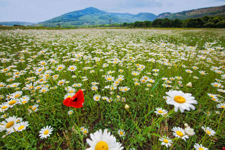 Landscape of vast camomile field Standard-Bild