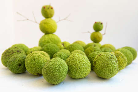subtropical: Subtropical snowmen. Fruits of maclura pomifera stacked on each other, that resembles a snowman Stock Photo