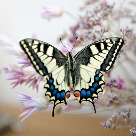 machaon: Papilio machaon. Swallowtail butterfly on bouquet of dry wildflowers