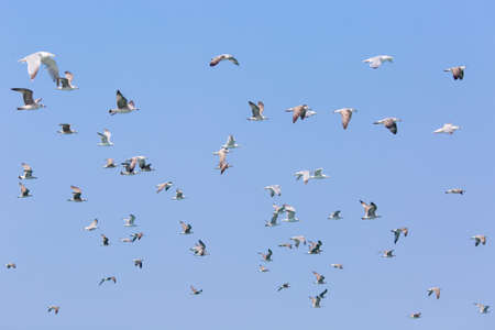seabird: Flock of seagulls over in the sky. Young gulls Larus Argentatus species flying in sky Stock Photo