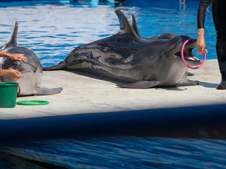 cetaceans: Dolphins Afalina (Tursiops truncatus ponticus). Bottlenose dolphins in sea pool