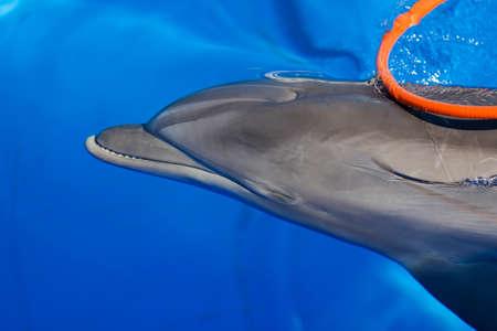 cetaceans: Dolphin Afalina (Tursiops truncatus ponticus). Bottlenose dolphin swims in sea pool