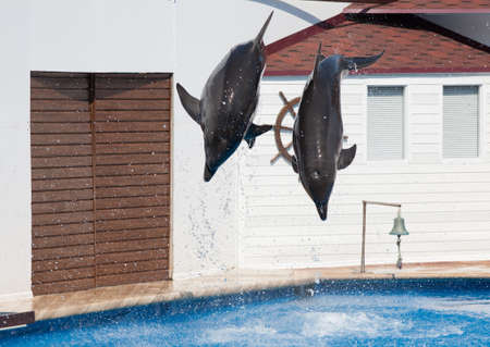 cetaceans: Two dolphins Afalina (Tursiops truncatus ponticus). Two bottlenose Dolphins jumping in sea pool