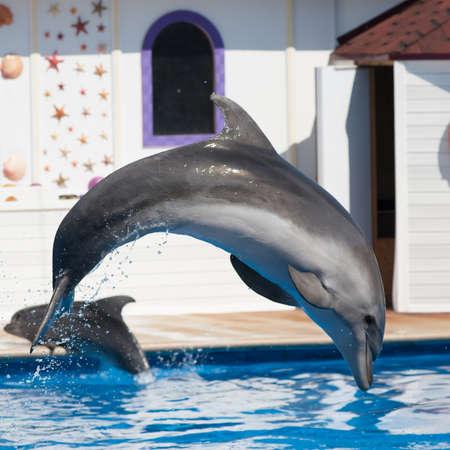 cetaceans: Dolphin Afalina (Tursiops truncatus ponticus). Bottlenose dolphin jumping in sea pool