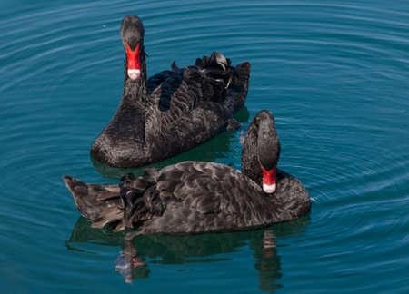 Black swans. Two black swans float in sea pool