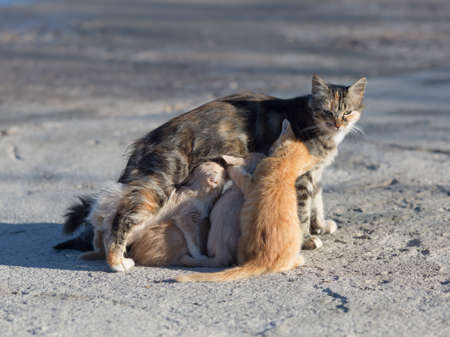 Stray cat with kittens on concrete pier. Sucking milk little cute kittens with their mother cat