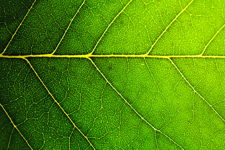 to plant structure: leaf macro shot, shallow DOF Stock Photo