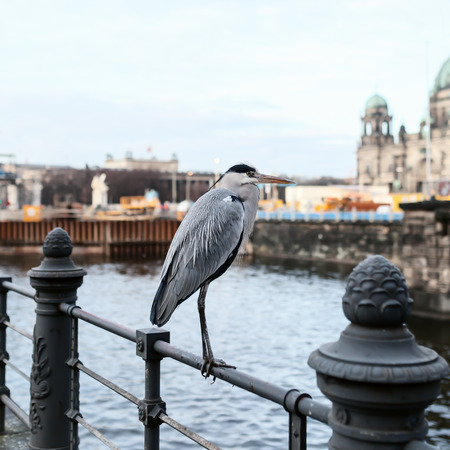 wintering: Adult gray heron in the city