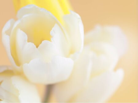 colorize: soft focused and colored flower background with yellow tulip made with color filters Stock Photo