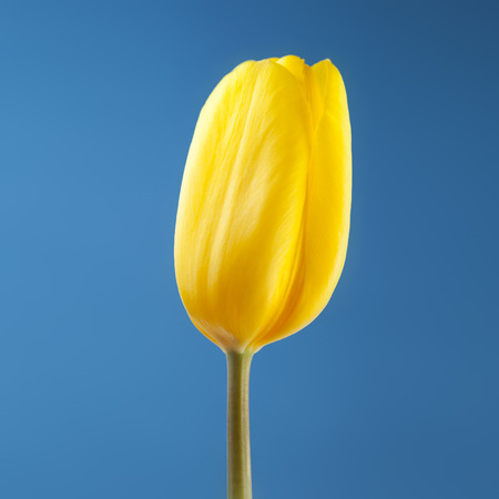 close-up view of a single yellow tulip on blue background selective focus with shallow depth of field Reklamní fotografie