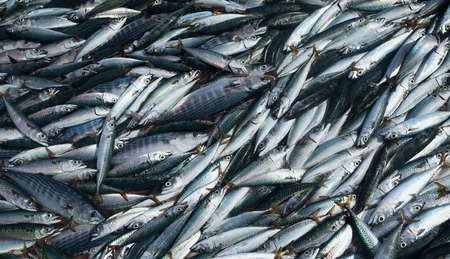Fresh mackerel fish,Fresh caught sea fish