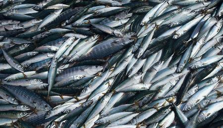 Verse makreel vis, vers gevangen zeevis
