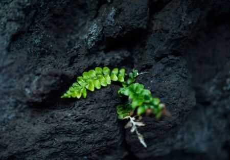 green and black: green plant on the black rock, Green fern plant on black lava field Stock Photo