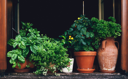 Garden herbs, Plant Garden in Flower Pots by Window Sill Stock Photo