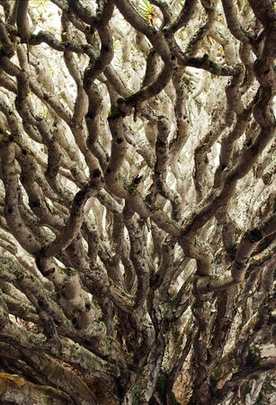 destination scenics: Dragon blood tree branch abstract background Stock Photo