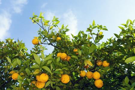 naranjo arbol: árbol de naranja el cielo azul en el fondo