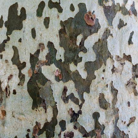 sicomoro: Sycamore corteccia di albero camuffamento