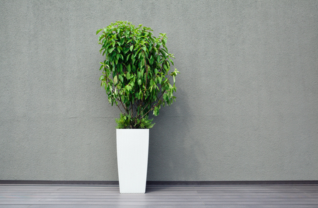 tree life: Green ficus tree in a white pot,against background of a gray wall