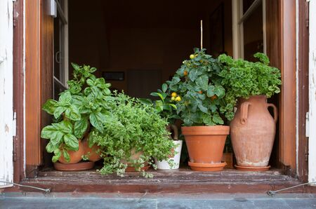 plant pots: Herbs in plant pots growing on a windowsill