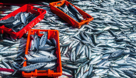 fresh fish: raw fresh mackerel fishes in market container,freshly caught fish in the Atlantic Ocean