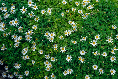 chamomile background in the nature