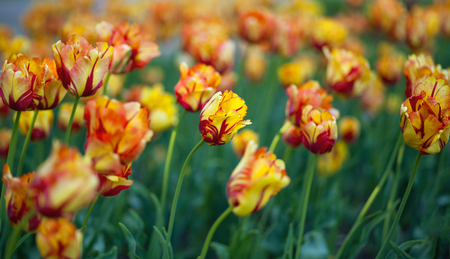 red and orange tulip flower background, colorful tulips meadow spring close up