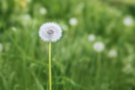 white fluffy dandelion, natural green blurred spring background